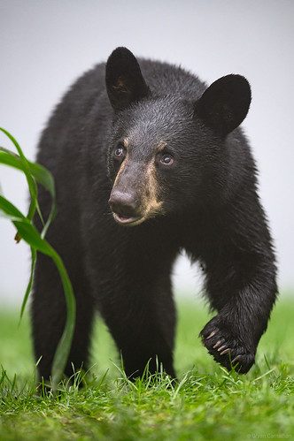 Cute Black Bear Cub in the Fog | by Bryan Carnathan