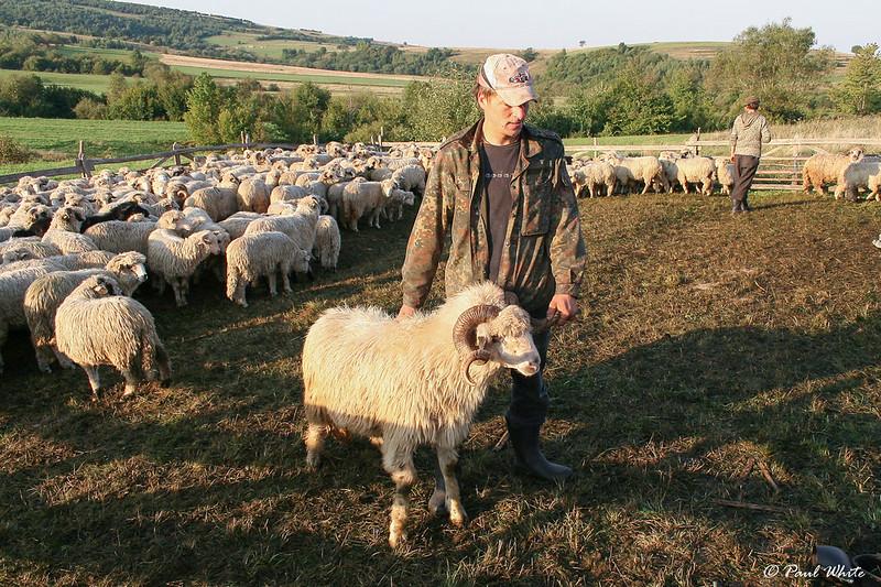 Transhumance in Transylvania