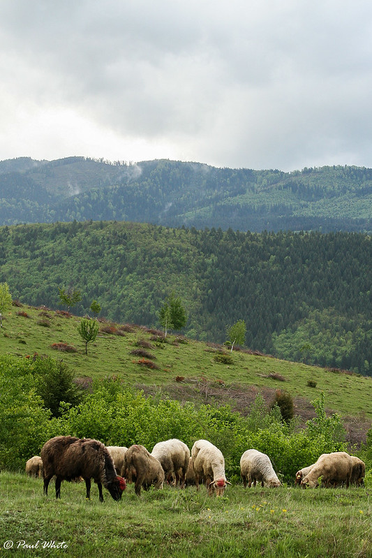 Sheep farming in predator country