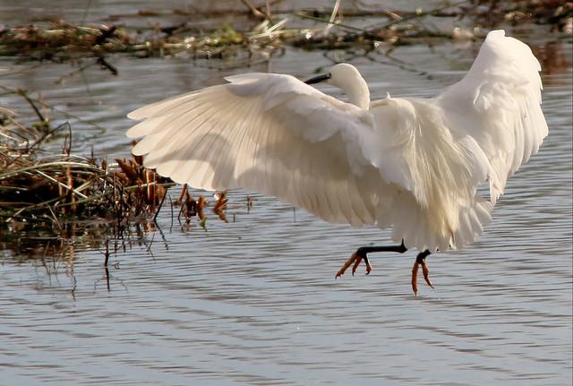 Little Egret in landing mode