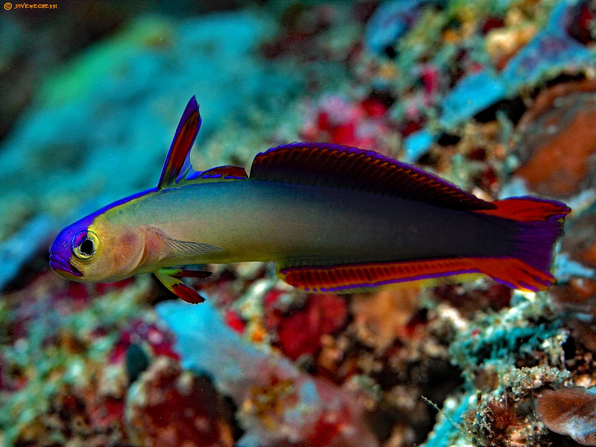 Decorated Dartfish - Nemateleotris decora