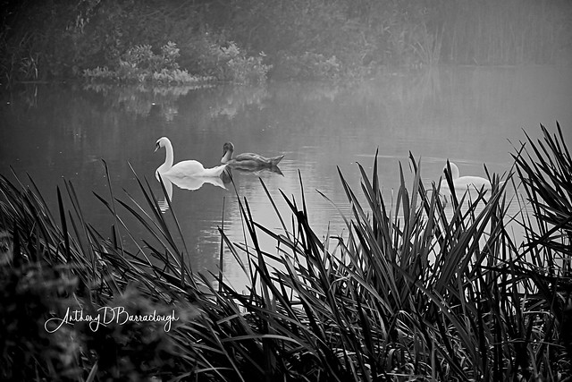Swans in the Mist 681-1