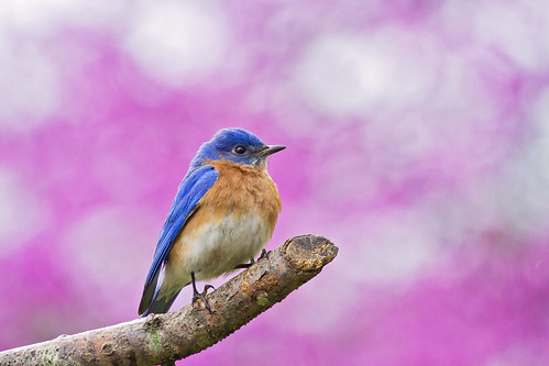 bluebird on purple | by G_Anderson