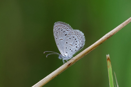 Tiny Grass Blue | by scubahenlik