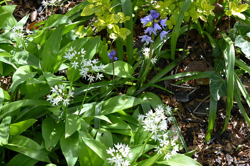 Wild garlic and bluebells in Preston | by Tony Worrall