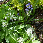 Wild garlic and bluebells in Preston