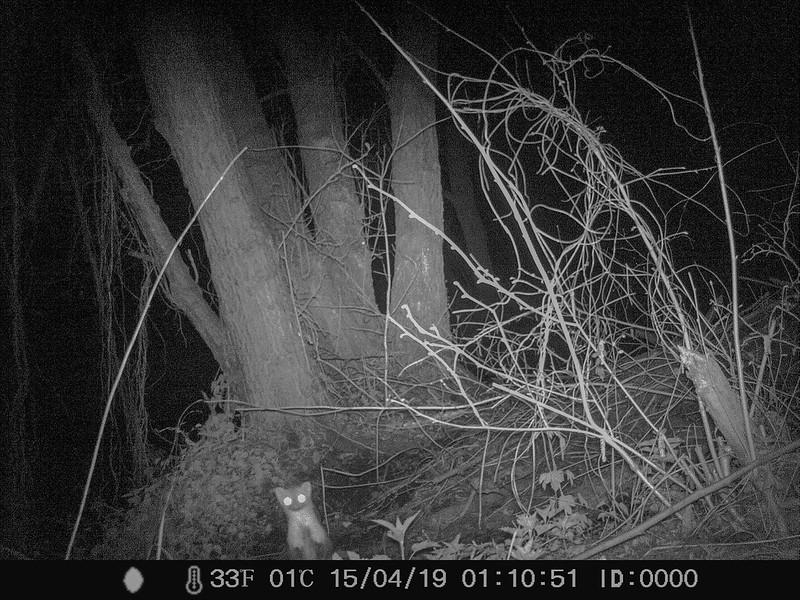 Steenmarter (Martes foina)-IMAG1081