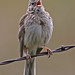 Vesper Sparrow by Gf220warbler