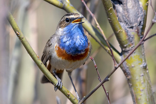 Blauwborst-Bluethroat (Luscinia svecica) | by Bram Reinders(on-off)