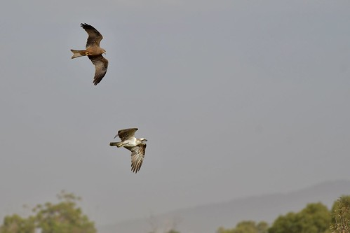 Osprey and Black Kite ( No Fish today ) | by friendsintheair