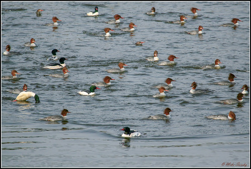 07-7483_Common_Mergansers_fishing_fs | by michaelsorsky