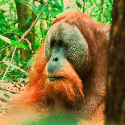 Travel tips Wild jungle Sumatra  the best place on earth to meet Orangutan in the wild.  Fantastic 2  day and one night jungle trekking tour in sumatra.  Join now for the great jungle experience 📧 adi.look25@gmai.com 📞 +62 821-61 | by orangutan_planet