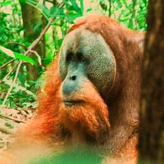 Travel tips Wild jungle Sumatra  the best place on earth to meet Orangutan in the wild.  Fantastic 2  day and one night jungle trekking tour in sumatra.  Join now for the great jungle experience ? adi.look25@gmai.com ? +62 821-61