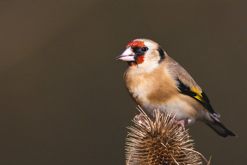 Goldfinch Close Up | by samueledwardhyde