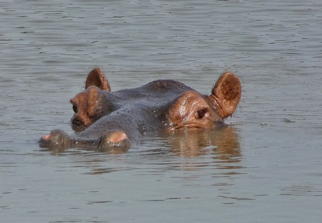 Hipopótamo en Pendjari (Benín)