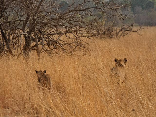 Leones fotografiado sen un Safari en Pendjari (Benín)