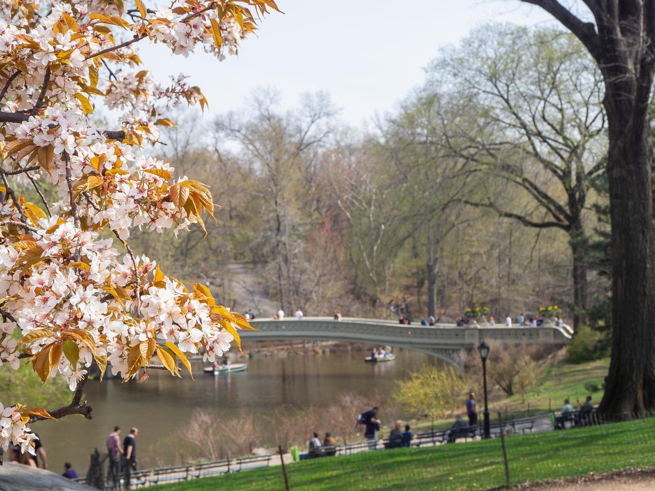 New York, kirsikankukkia