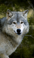 Timber Wolf (Canis lupus) Stare