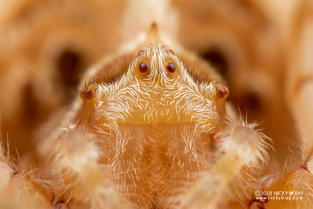 Six-spined bolas spider (Ordgarius sexspinosus) - DSC_4614