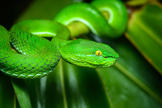 Trimeresurus gumprechti, Gumprecht's pit viper (female) - Phu Suan Sai National Park | by Rushen!