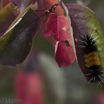 Fuzzy Caterpillar on autumn leaves