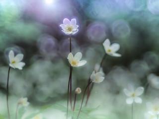Anemone flaccida | by Tomo M