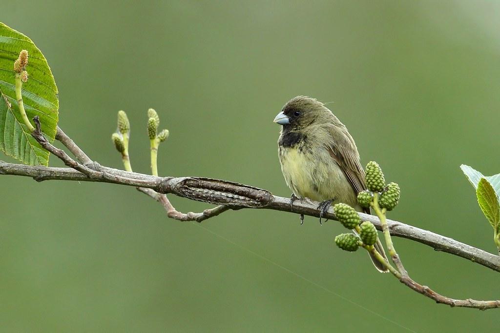 Yellow-bellied Seedeater / Espiguero de vientre amarillo (Sporophila nigricollis)
