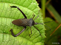 Leaf-footed Bug, Acanthocephala sp., Coreidae