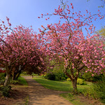 Cheery blossom at Miller Park, Preston