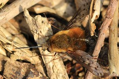 Dotted bee-fly - Bombylius discolor - Nr White Mill NT Dorset -150419 (3)
