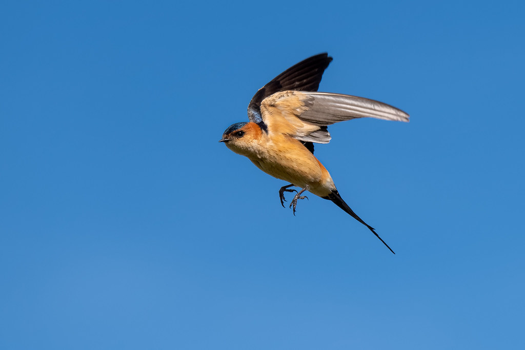 Red-Rumped Swallow - Andorinha-dáurica - Cecropis daurica