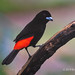 Scarlet-rumped Tanager Perched A Slightly Singed Branch