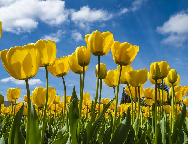 Tulips Fujifilm XT 2 5920