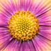 Bright Osteospermum, 4.9.18