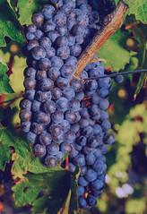 Harvest Cabernet Sauvignon grapes
