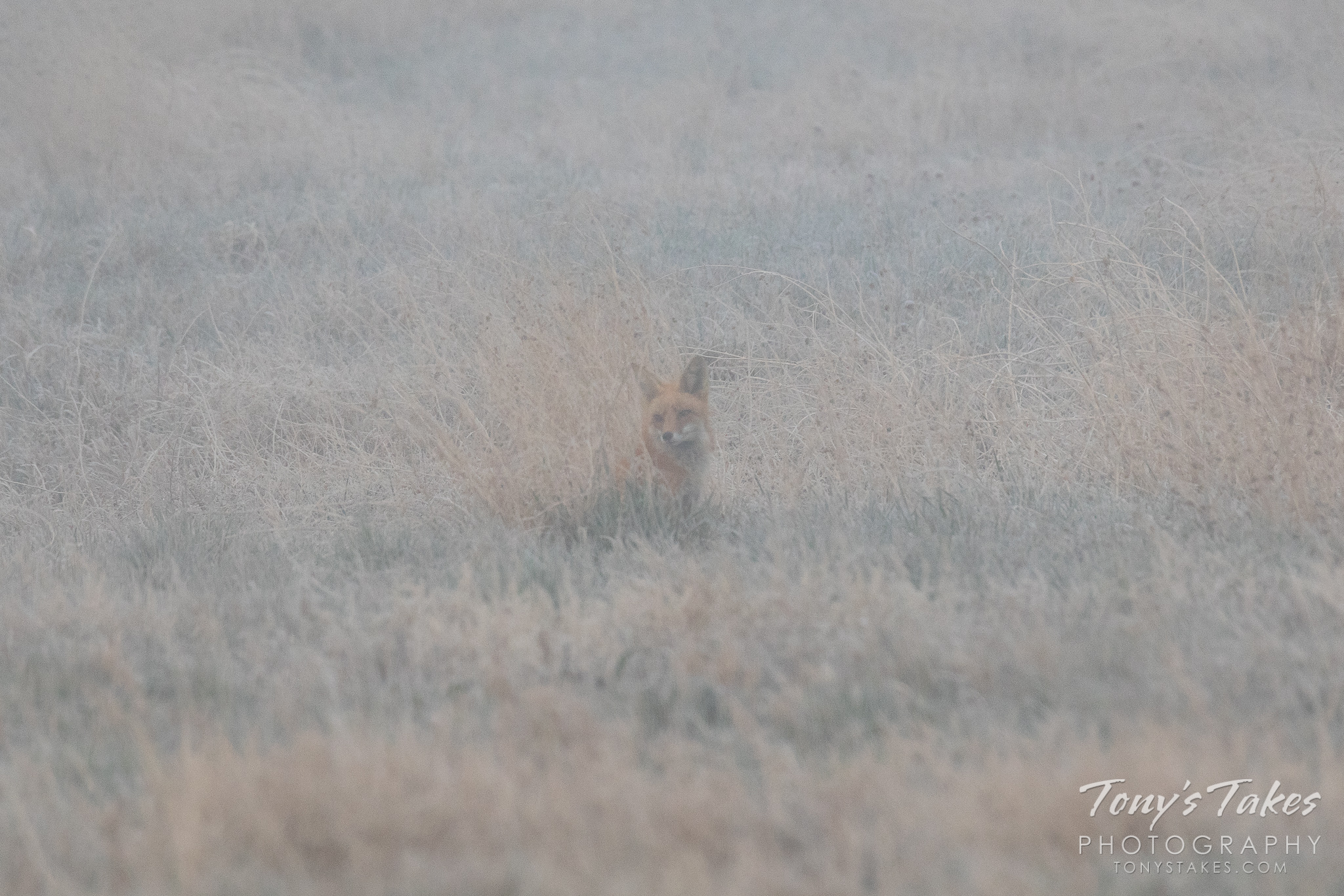 A red fox hanging out on a foggy morning on the Colorado plains. (© Tony's Takes)