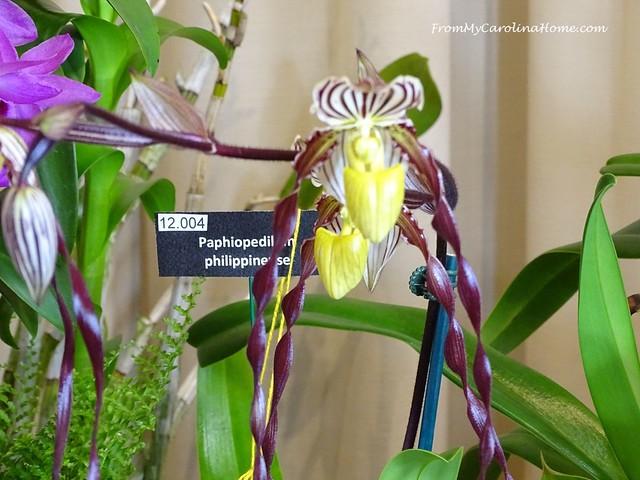 Paphiopedilum philippinesse