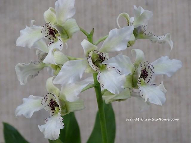 Dendrobium Joyce Kelley