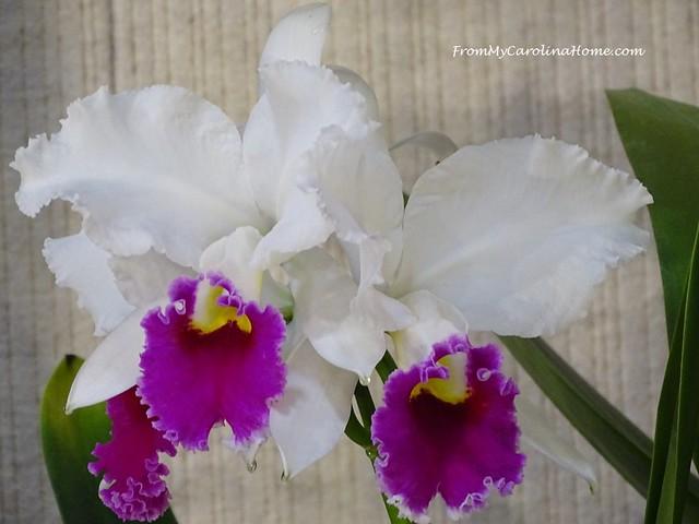 Cattleya Easter Halo