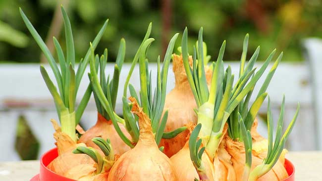 3-Daun-bawang,-sayuran-yang-paling-mudah-ditanam