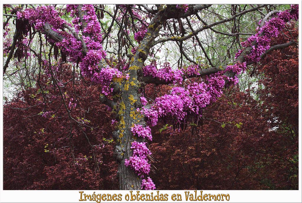 Cercis siliquastrum, árbol del amor, ciclamor, algarrobo loco, árbol de Judas