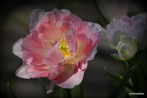 DSC_8902  my pink tulips