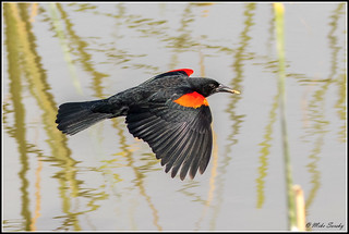 16-A1876_red-winged_blackbird | by michaelsorsky