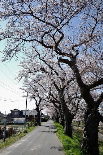 桜の花、舞い上がる道を 2019