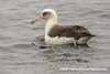 Laysan albatross (Phoebastria immutabilis), adult DSD_8037 by fotosynthesys