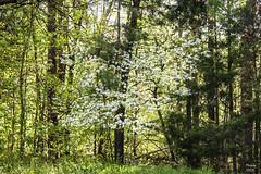 Dogwood at Log Cabin 042019 - 2