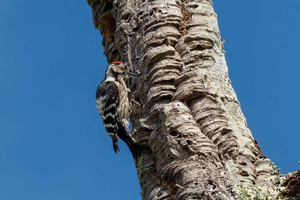 Male Lesser Spotted Woodpecker