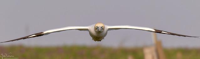 Gannet Head On