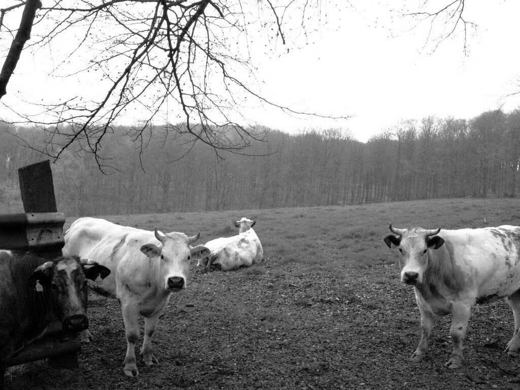 The curious cows
