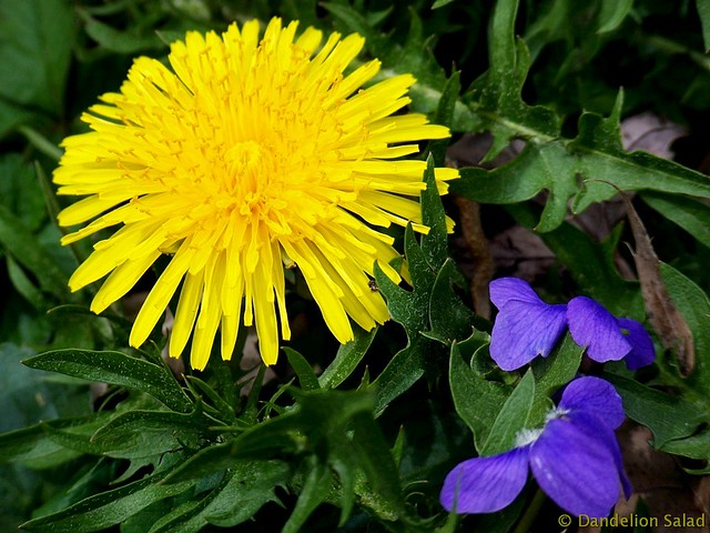 Dandelion and Violets